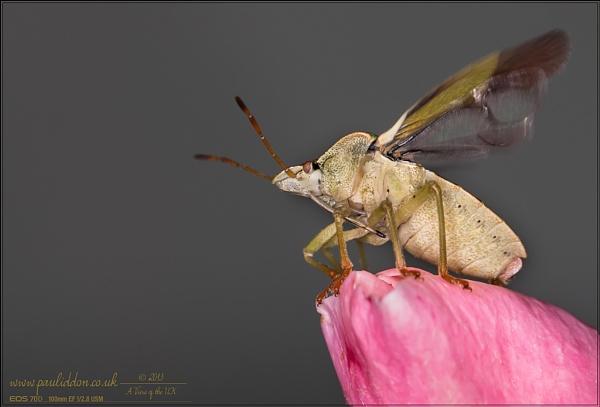 Stink Bug - Take Off! by Paul_Iddon