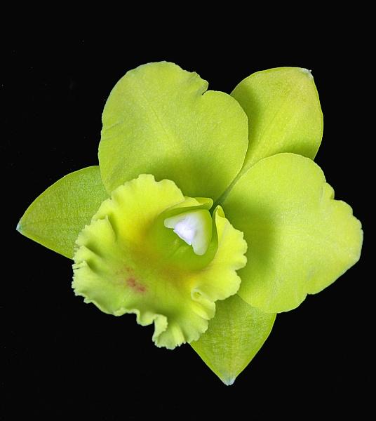 Cattleya by adrian_w