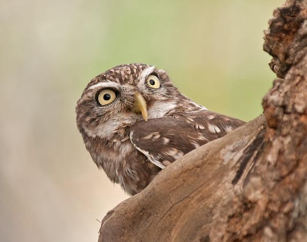 Little Owl 2 by FeatherFriend