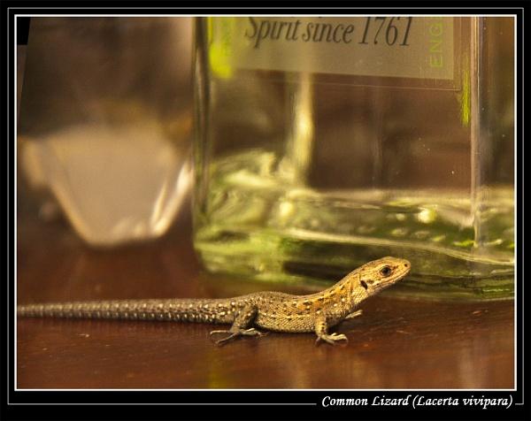 Common Lizard (Lacerta vivipara) by Ray42