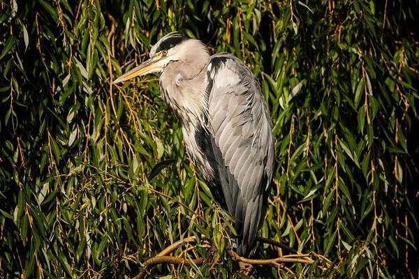 Grey Heron2 by paddyman