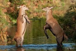 Boxing Deer