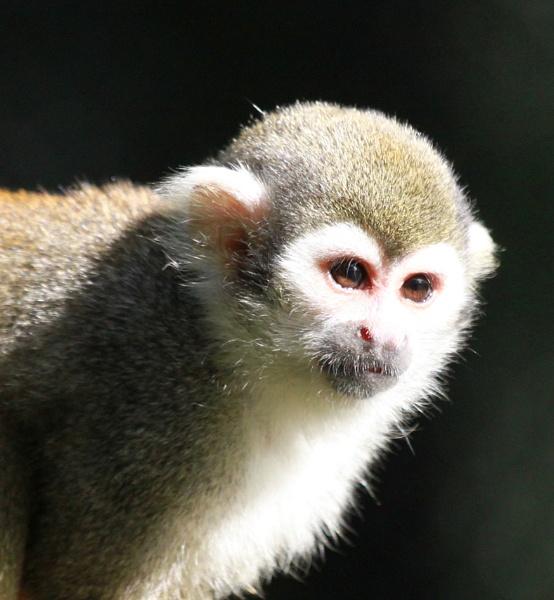 sqirrel monkey by Kayleigh