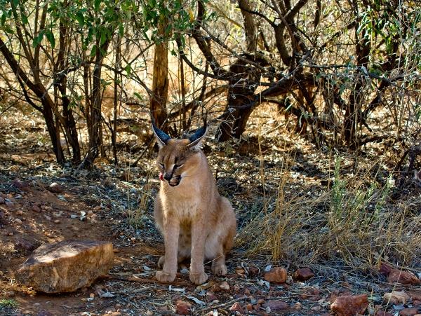 Lynx by Jabberwock