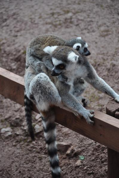 Lemurs! by josephwiseman11