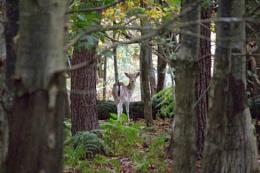 Seeker Deer in Knowle Park