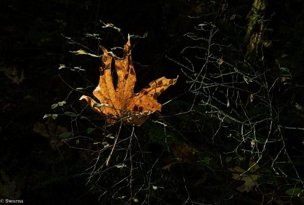 Maple Leaf by Swarnadip