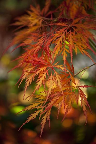 Acer Autumn by jackyp