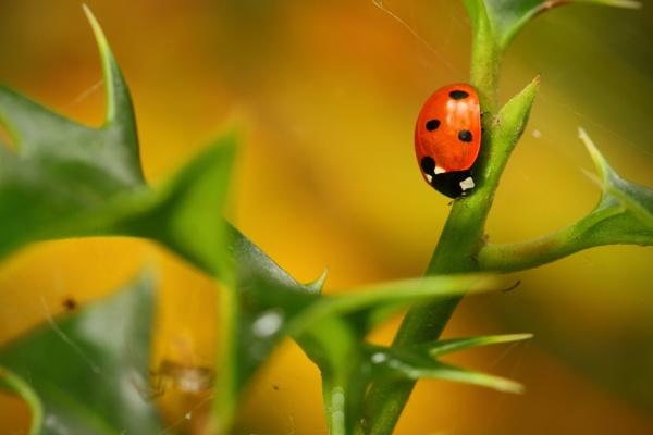 Ladybird by Tigger1