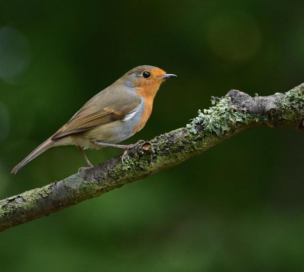 Robin No. 3 by Holmewood