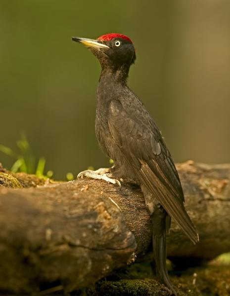 Black Woodpecker by katholdbird