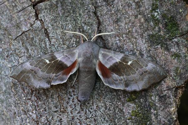 Poplar Hawk-moth by Andy_brown