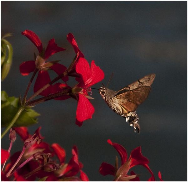 Hummingbird Hawk moth by dven
