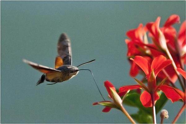 Hummingbird Hawk Moth 2 by dven
