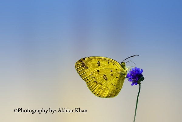 Butterfly by akhtarkhan