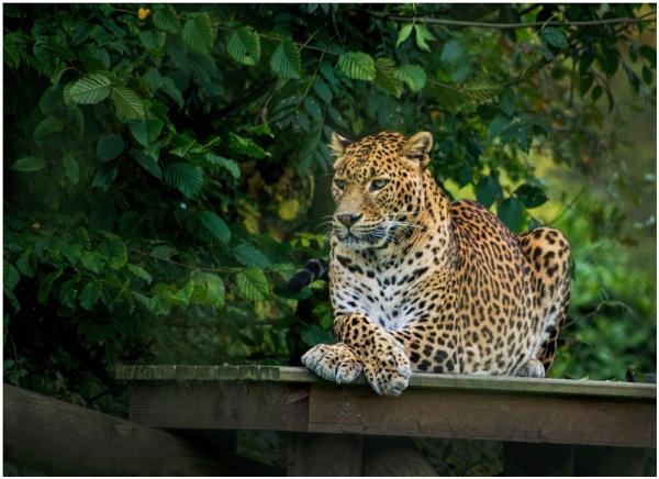 Leopard by malleader