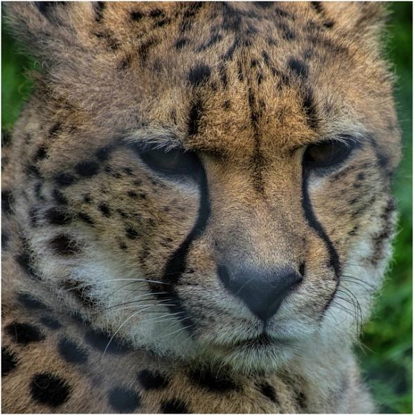 Cheetah by malleader