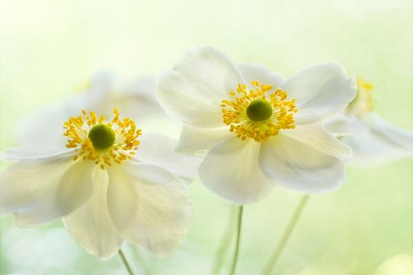 anemone glow by JanieB43