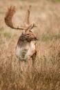 Fallow Deer by paddyman