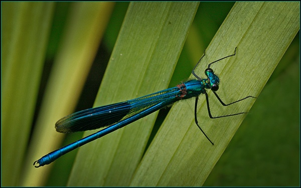 Banded Demoiselle by fentiger