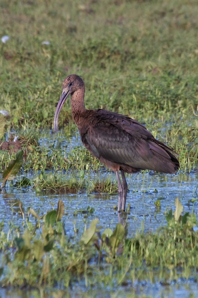 Glossy ibis by saltholme