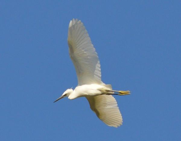 Little Egret by Jacky4me