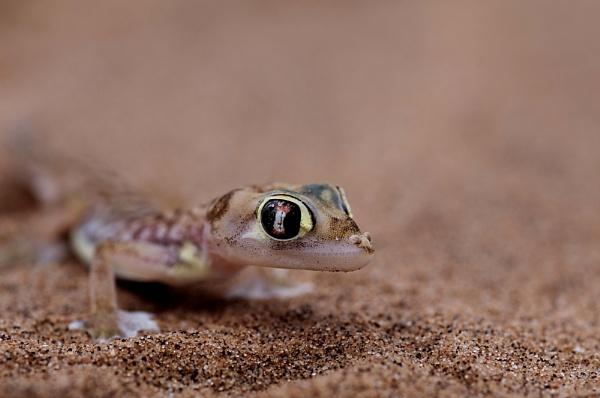 Namibian Lizard by Msalicat