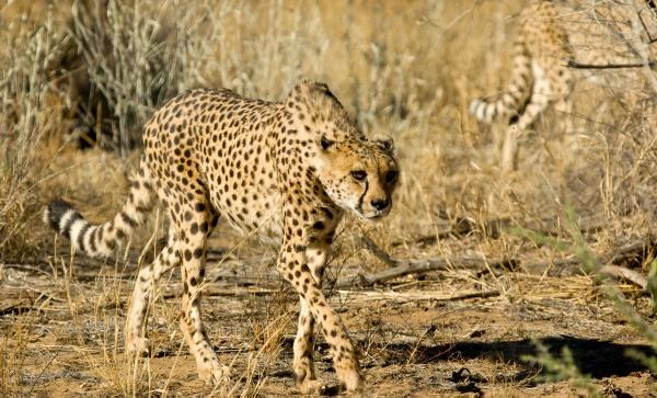 Cheetah by Jabberwock