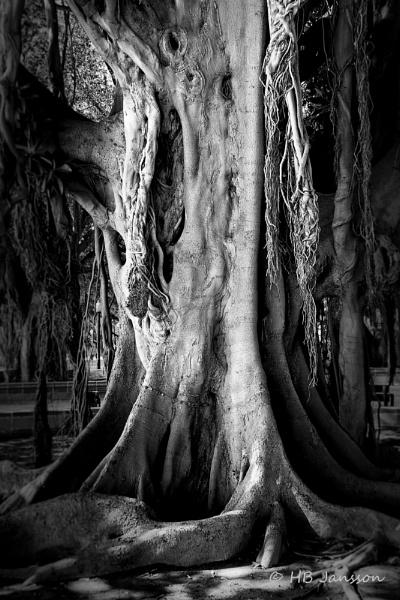 Ficus benjamina by HBJ