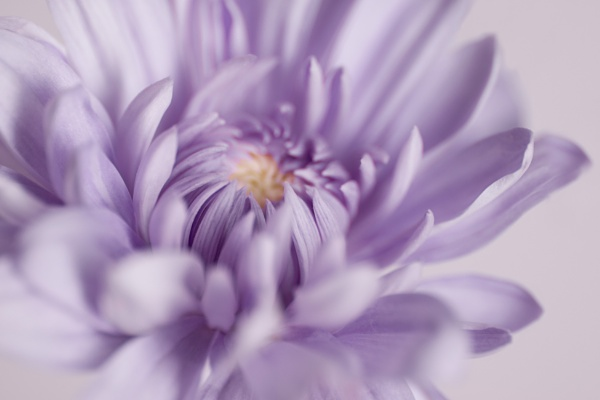 Chrysanthemum Dream