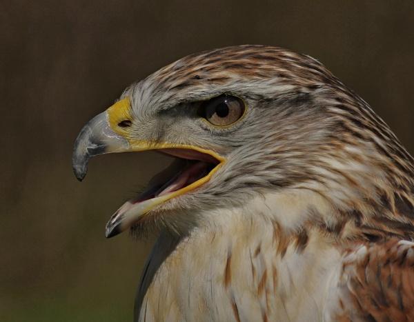 Ferruginous Hawk -Portrait by ali63