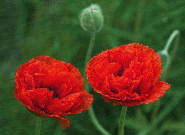 Red poppies by Boleskine