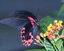 Scarlet Swallowtail Butterfly by MarkBullen