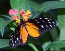 Golden Helicon Butterfly by MarkBullen