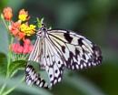 Paper Kite Butterfly by MarkBullen