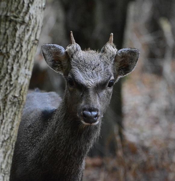 Japanese Sika Deer by Holmewood
