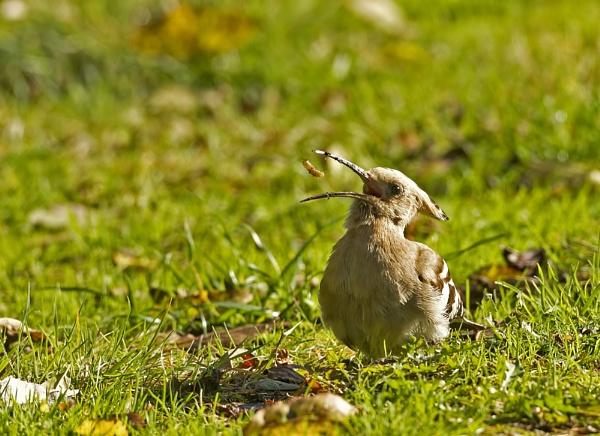Hoopoe by katholdbird