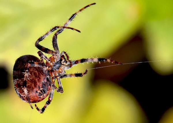 Spider by YNOR