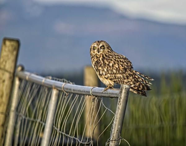 Owl on Gate by glimpsesborrowed