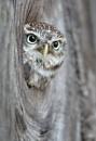 Little Owl (c) by VinceJones