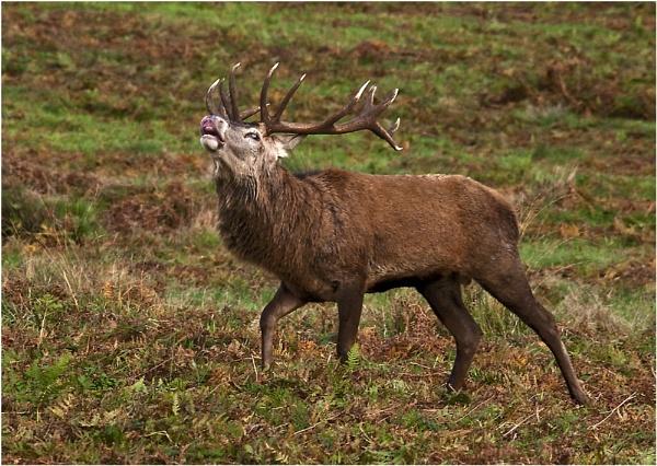 Red Deer Bellowing by dven