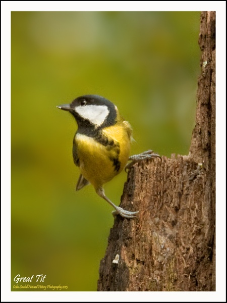 Yet another Great Tit by Norfolkboy