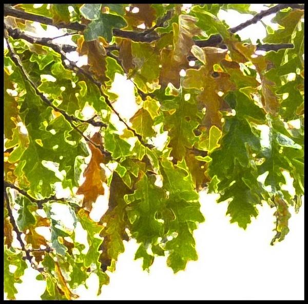Turkey Oak.