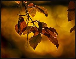 Beech Leaves in Autumn