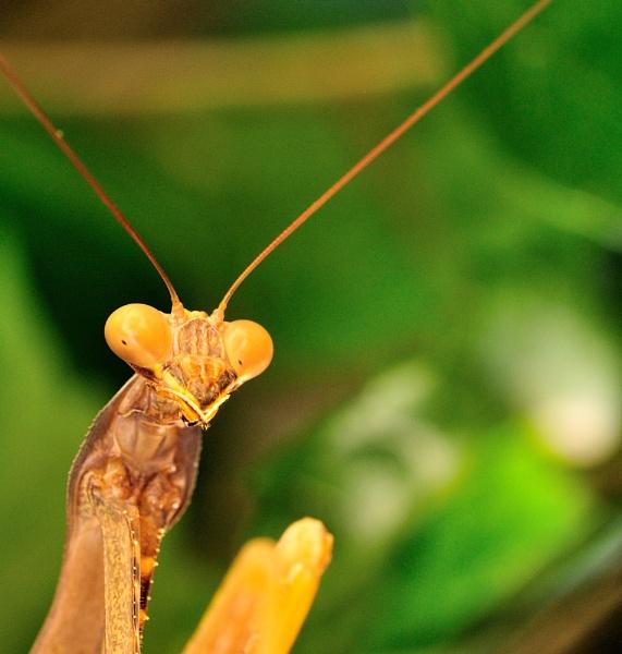 Mantis by Nicksi