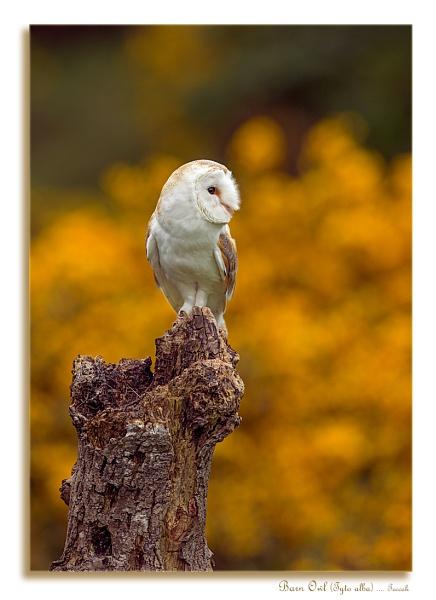 Barn Owl (Tyto alba) by teocali