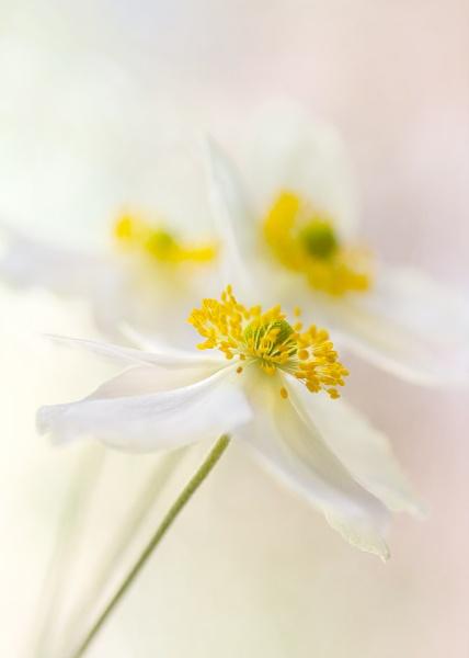 anemone japonica by JanieB43