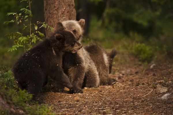 Bear Brawl by rontear