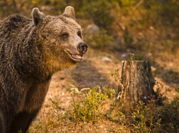 Female European Brown Bear portrait. by rontear