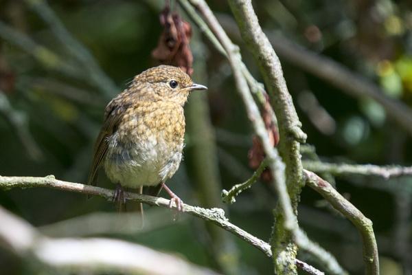 Robin- Juvenile by richmowil